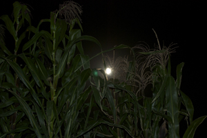 The corn shows up in the moonlight.